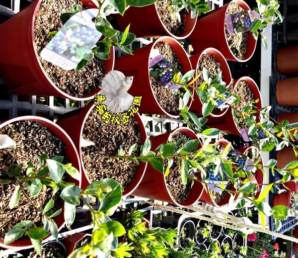 [溫帶藍莓苗] 6吋盆 活體盆栽, 結果可食用 (已經結過果實)