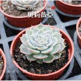〔熱銷美人〕CARMO奧莉薇亞多肉植物成株(3吋)【Z0006】