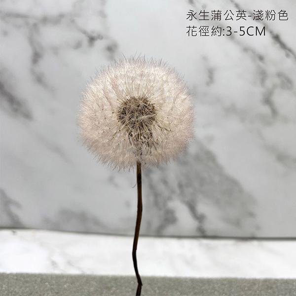 進口彩色永生蒲公英-乾燥花束 不凋花玻璃罩 拍照道具 室內擺飾 乾燥花材-直徑:3-5CM