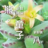 ⓒ多肉植物自收熊童子種子 (10顆裝)【G11】