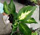 活體 [ 白玉黛粉葉 ] 室內植物 3吋...