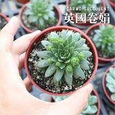 CARMO英國捲娟多肉植物成株(3吋)【Z0130】