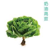 預購 水耕蔬菜-奶油萵苣(200g)