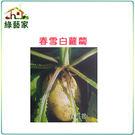 【綠藝家】C02.春雪白蘿蔔種子1000顆