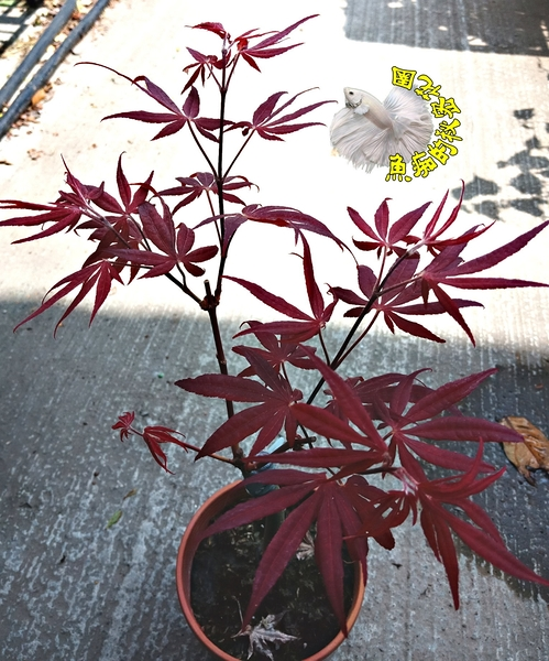 活體 [ 嫁接日本楓樹 紅色楓樹盆栽 猩猩紅楓葉樹] 室外植物 4-5吋盆栽 送禮盆栽
