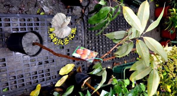 [玉荷包荔枝樹苗] 4寸黑盆 室外多年生果樹盆栽 種地上才會比較快結果