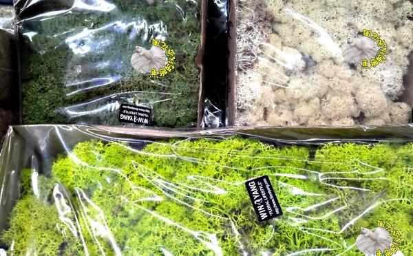 [草綠色 永生花水草] 多肉植物組合專用水草 真實植物製作。根部多少會帶一點點土!