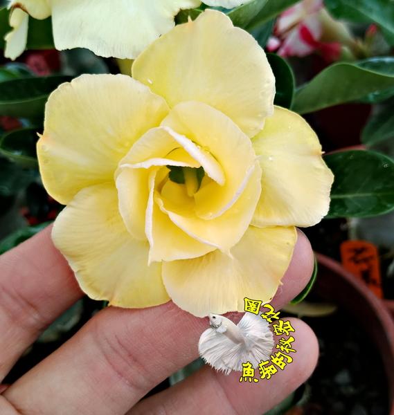 [布丁] 5吋盆 活體奶油色沙漠玫瑰盆栽 送禮小品盆栽 室外半日照佳 送禮首選 祝賀禮物