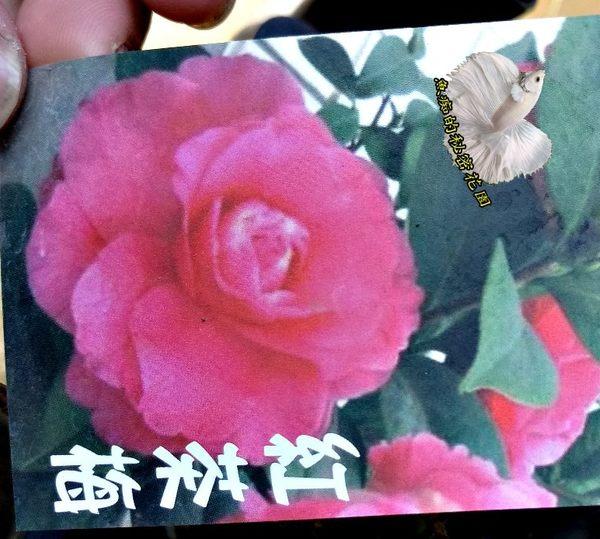 [紅茶梅茶花苗] 3.5吋 觀賞茶花盆栽 活體花卉盆栽 半日照 需換盆才會比較快開花