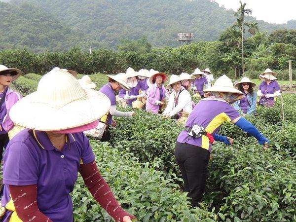 [宜蘭]馨山茶園-精緻單人農業體驗一日遊