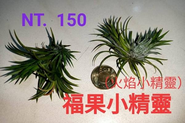 [福果小精靈 火焰小精靈 空氣鳳梨] 活體空鳳植栽 需通風良好環境!!! 不需土,空氣和水即可