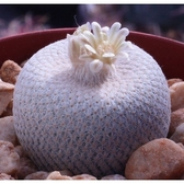 CARMO小人帽種子(5顆裝) 仙人掌種子【K64】