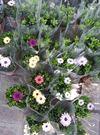 花花世界_襯景植物-- 藍眼菊 (不挑顏色),菊科藍眼菊屬--豐富的顏色變化/5吋高10~20公分/Tm