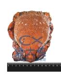 F0【魚大俠】SP082鮮美小規生凍旭蟹(約300g/隻)