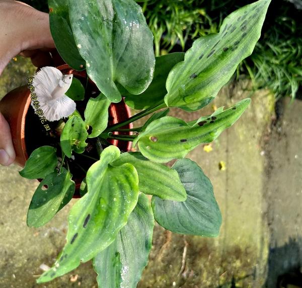 活體 [油點百合] 室內植物 3吋盆栽 送禮小品盆栽