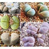 ⓒ繭型玉系混合種子 (10顆裝) 多肉植物/生石花種子【A41】