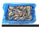 1C4B【魚大俠】SP023特美生白蝦70/80 保證實重1.15kg #6