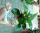 [圓葉椒草水耕盆栽] 玻璃瓶水耕植物盆栽...
