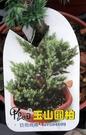 喬木---松柏植物** 玉山圓柏 ** ...