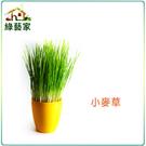 【綠藝家】J04.小麥草種子40克...