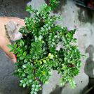 活體 [胡椒木 胡椒樹] 室內室外植物 ...