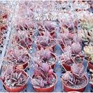 X*超級好養* 紫式部3吋多肉植物成株【Z0013】