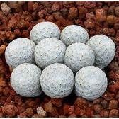CARMO白鷺種子(5顆裝) 仙人掌種子【K51】