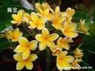 喬木 ** 雞蛋花-不挑品種** 5吋盆/高15-20cm/最棒的庭園樹【花花世界玫瑰園】R