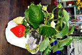 [超大草莓 新品種香水草莓盆栽] 5寸盆 室外半日照佳 食用草莓盆栽