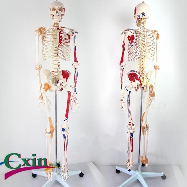 尺寸兩種以上請詢問報價170CM骨架附肌肉標識韌帶脊柱解