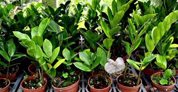 活體 [招財樹 發財樹] 室內植物 3吋盆栽 可以淨化空氣