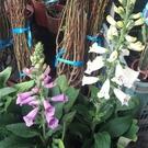 花花世界_季節花卉--毛地黃(不挑色),花色亮麗--花型動人/5吋盆/高30-40公分/Tm