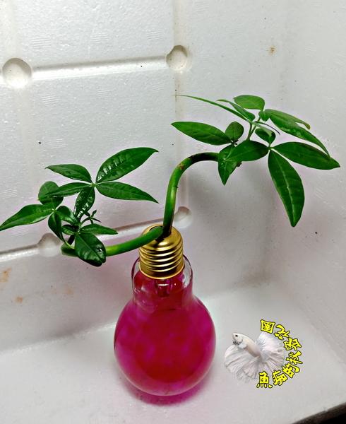 紫紅色水晶泥 [玻璃燈泡瓶+水耕彎曲發財樹 馬拉巴栗 美國花生 發財樹盆栽] 辦公室植物