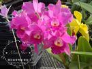 ★Mini Star★ 千姿蘭園Chian-Tzy Orchids 嘉德麗雅蘭 Cattleya-千姿彩球