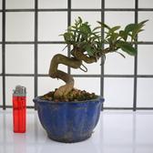 明陽盆栽園*【金豆柑】樹高12*左右16*幹徑3cm 小品盆景 觀賞價值高 易開花結果
