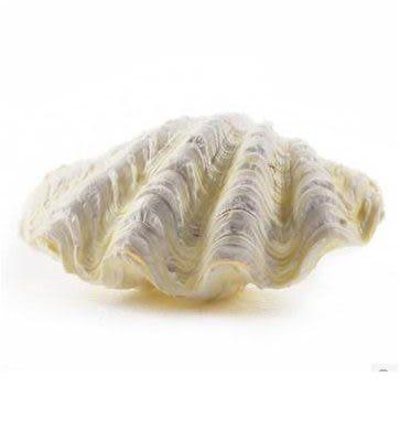 硨磲 純天然貝殼/海螺 地中海臥室DIY裝飾品DP