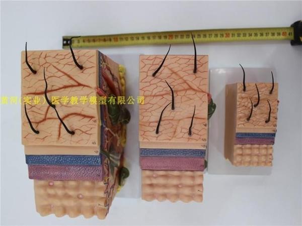 50倍人體皮膚組織結構放大解剖模型 醫學美容整形立體皮膚模型