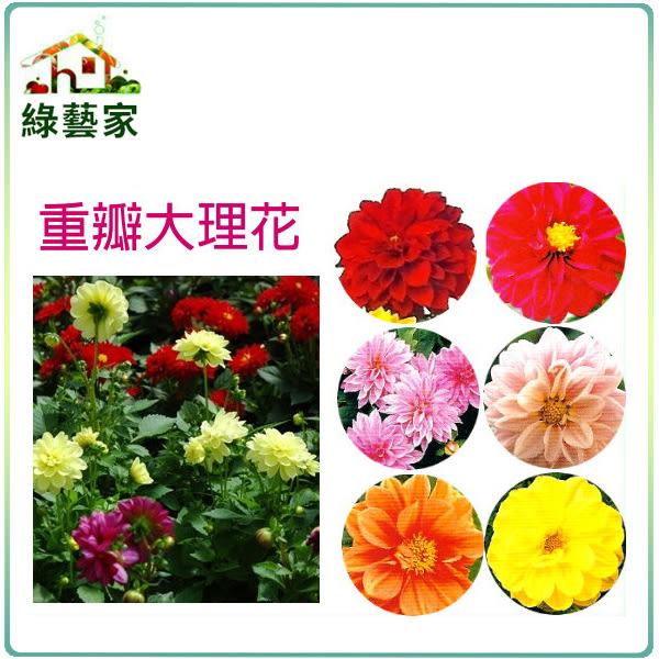【綠藝家】大包裝H09.重瓣大理花種子100顆