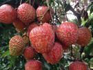 [彰化]採果體驗-古早雞休閒農場(荔枝、西施柚)