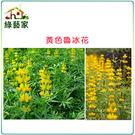 【綠藝家00H10-1】H10.魯冰花(黃花)種子1公斤(可當觀賞或是綠肥植物)