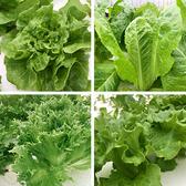 預購 【安心蔬食】水耕蔬菜-綠色系生菜(150g)
