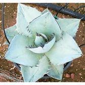 ⓒAgave titanota 'Blue'種子 (5顆裝) 龍舌蘭多肉植物種子 【B45】