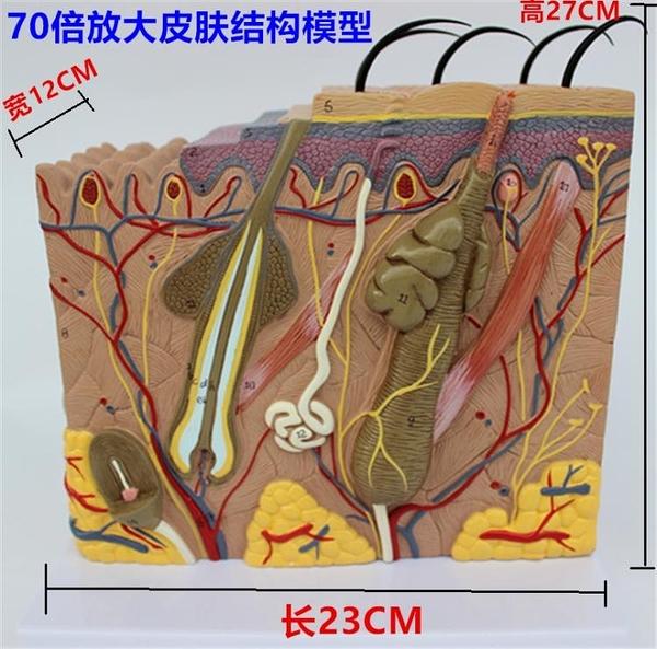 人體皮膚解剖模型美容醫學整形縫合皮膚組織結構層次解剖放大模型