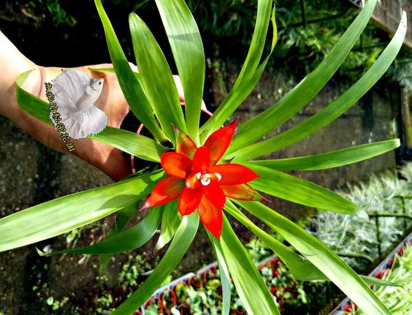 [綠葉紅鳳梨花] 室內植物  3吋活體盆栽 送禮小品盆栽