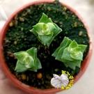 [十字星錦斑多肉] 3寸盆多肉植物 活體...