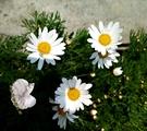 [白色小雛菊盆栽 白花瑪格麗特花盆栽 ] 5吋活體盆栽 送禮小品盆栽