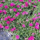 花花世界_季節花卉--紅瑪格麗特--**超會開花**/5寸盆/高25-40公分/TC