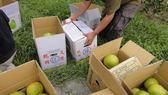 10月 西施蜜柚 17-18顆約30斤 家裡就永遠有水果