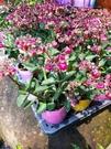 花花世界_季節花卉--朵拉提燈花--/3吋盆/高15~20CM/TC