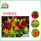 【綠藝家】大包裝H23.羽狀雞冠花(混合色,高40~60cm)種子600顆